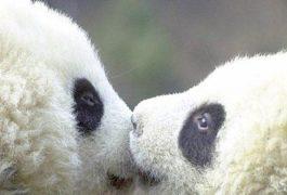 Panda öpüşmesi Facebook Kapak